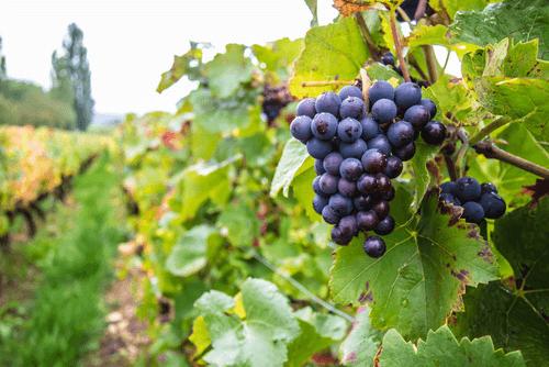 ブドウの品種イメージ画像