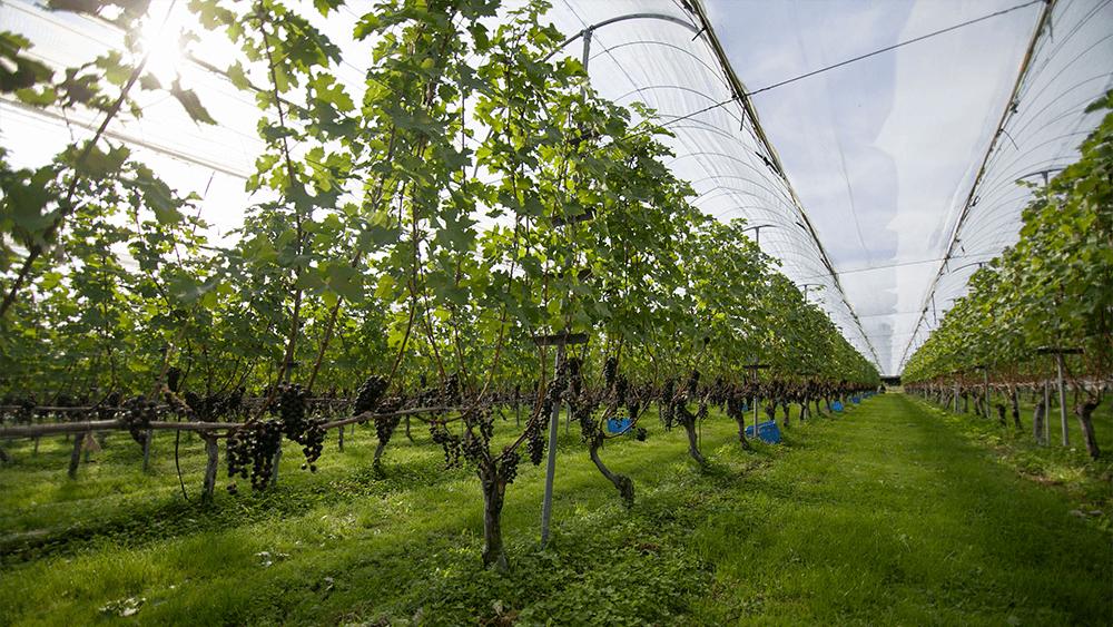 [写真]カベルネ・ソーヴィニヨン収穫間近(10月)