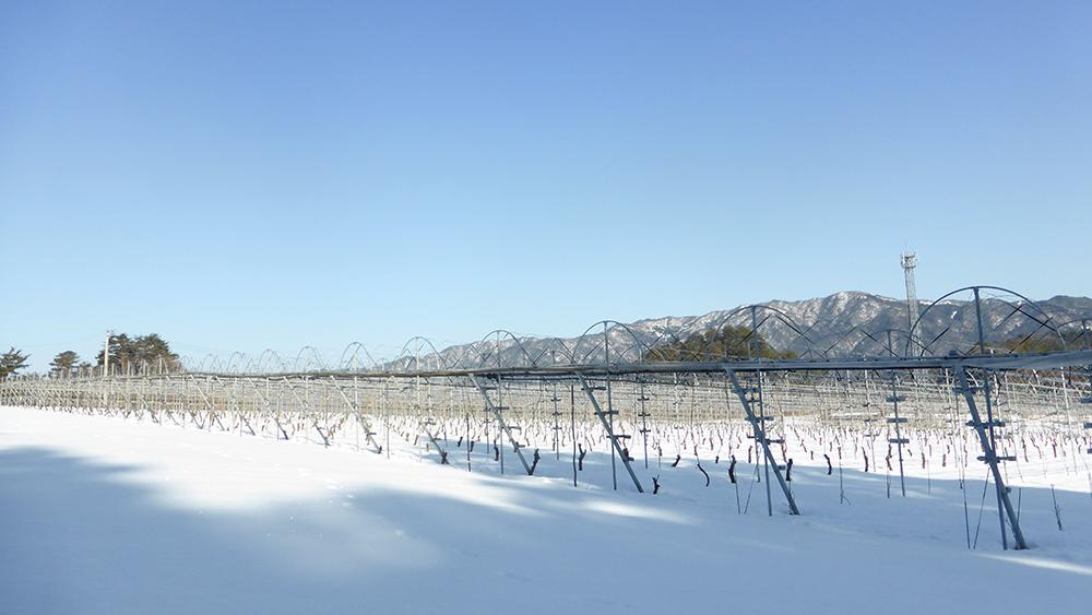 [写真]冬の横田ヴィンヤード(冬季は2m近い積雪があります)