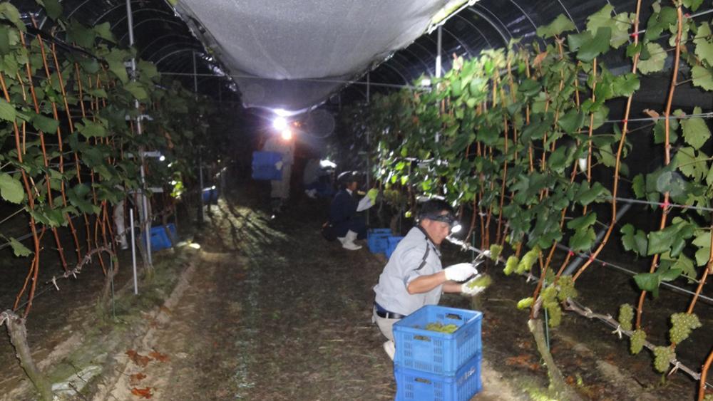 [写真]シャルドネ収穫(9月)