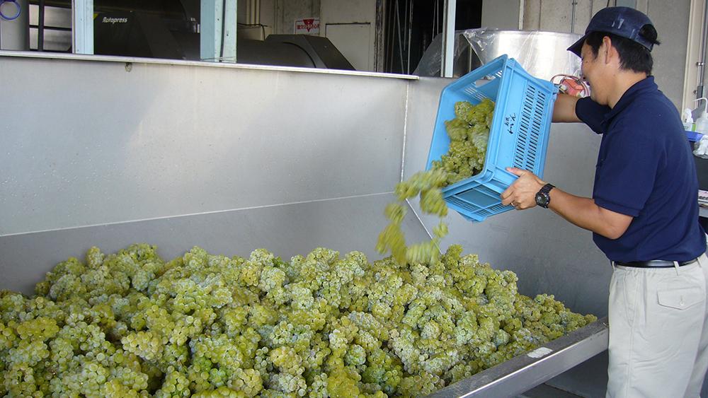 [写真]厳しく選果したブドウを仕込みます。