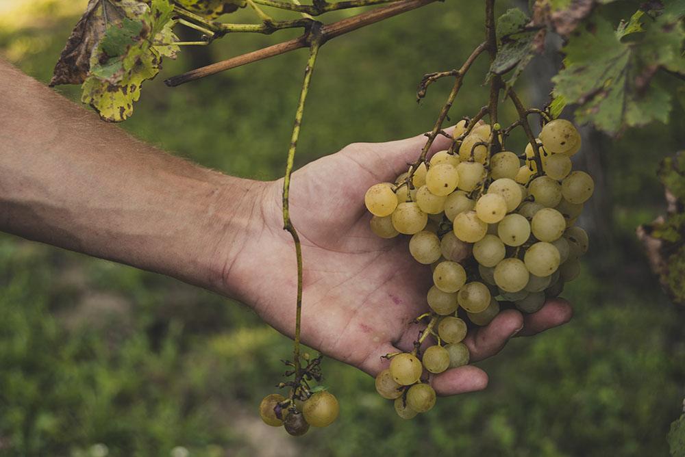 白ワインのぶどう品種